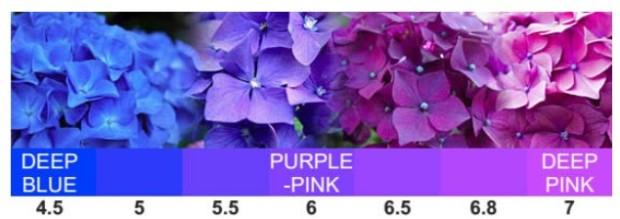 hydrangea-ph-levels.jpg